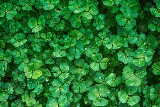 クローバー, 植物, グリーン