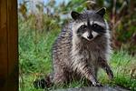 mammal, raccoon, mask
