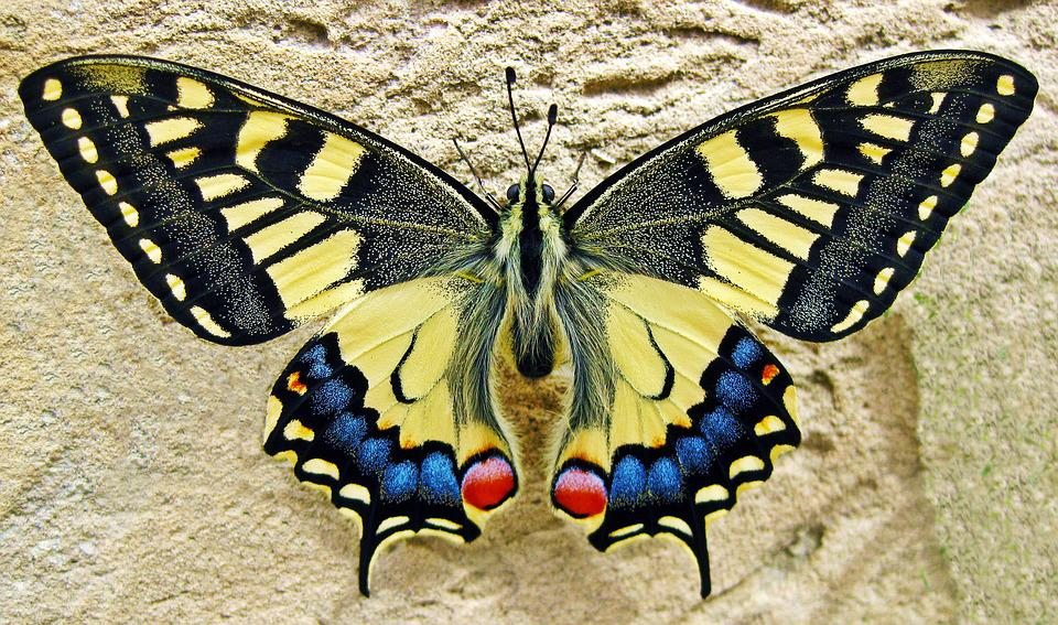Schmetterling, Schlucken Tailed Schmetterling, Insekt