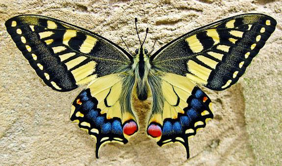 Butterfly Swallow Tailed Butterfly Insect