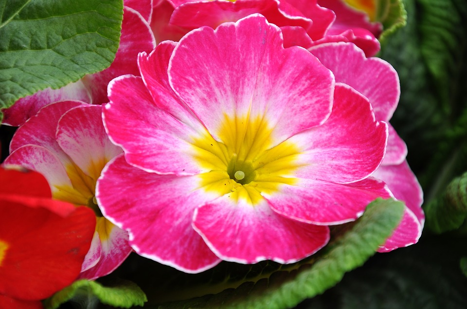 Primrose Spring Flowers Pink Free Photo On Pixabay