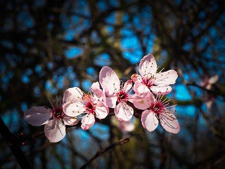 Fleur D'Amandier, Steinobstgewaechs