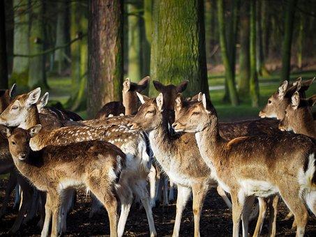 Roe Deer, Deer, Animal, Wild, Nature
