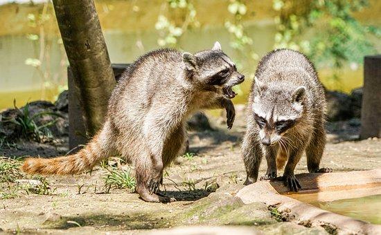 Raccoons, Playing, Animal, Critter