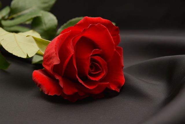 Rose 640 Bunga Mawar Merah Wallpaper Hd