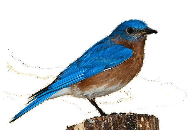 bird bluebird png  u00b7 free photo on pixabay