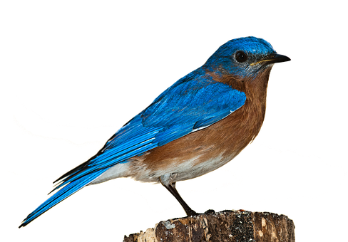 Bird Bluebird Bird Png Nature Perched Isol