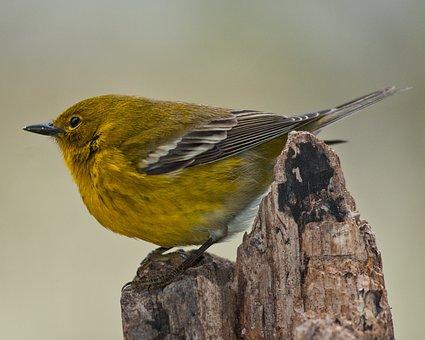 Pine Warbler, Warbler, Bird, Wildlife