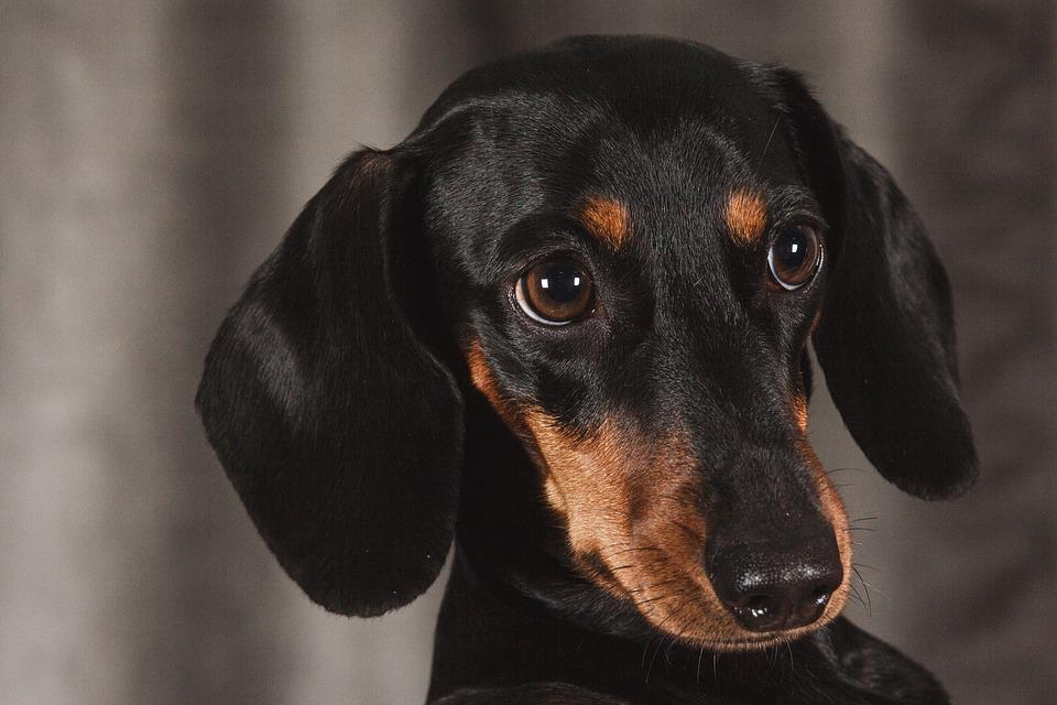 Dog, Dachshund, Animal, View
