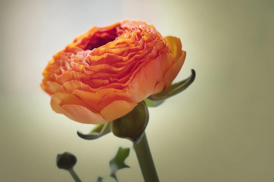 Atemberaubend Ranunkel Blume Blüte - Kostenloses Foto auf Pixabay #IU_17