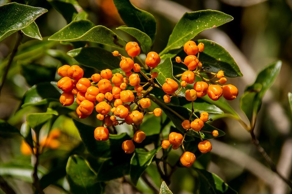 Orange Berries Tree Fruit Free Photo On Pixabay