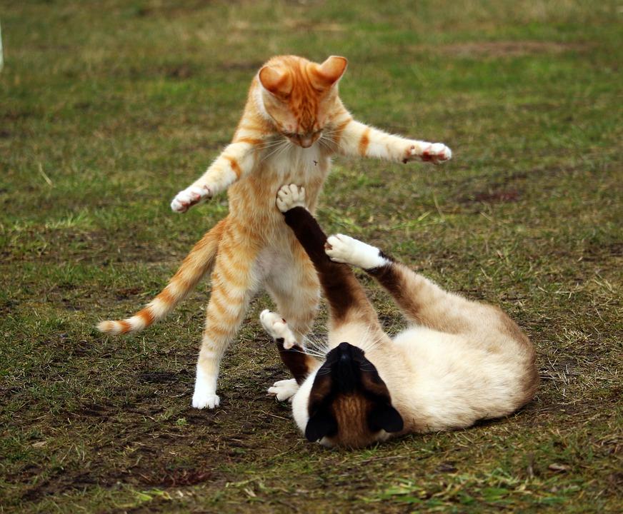 猫, 赤いマッカレルタビー, 子猫, 赤い猫, シャム猫, 再生, 戦う, 遊び心, 若い猫
