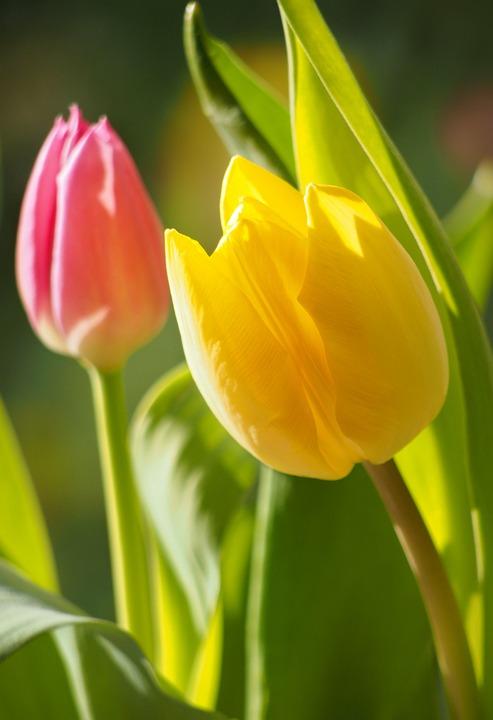Fiori Tulipani.Fiori Tulipani Flora Foto Gratis Su Pixabay