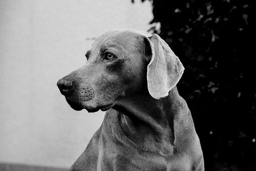 Weimaraner free images on pixabay for Weimaraner coloring pages
