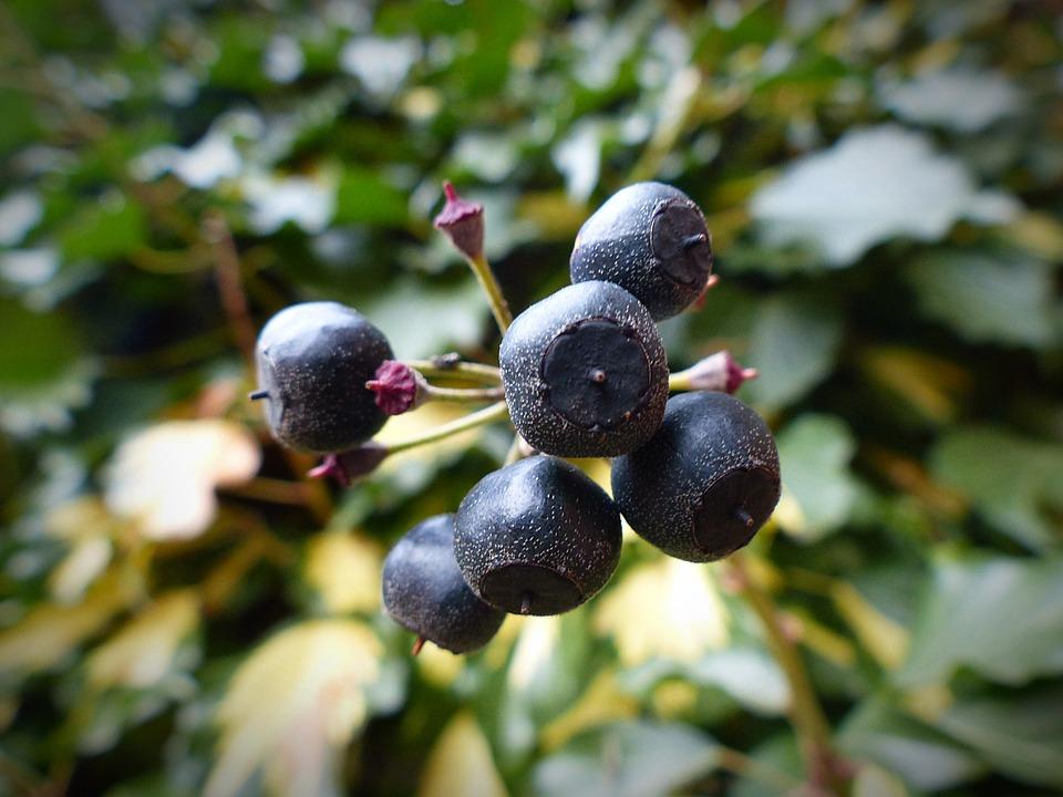 Efeu Beeren Pflanze Kostenloses Foto Auf Pixabay