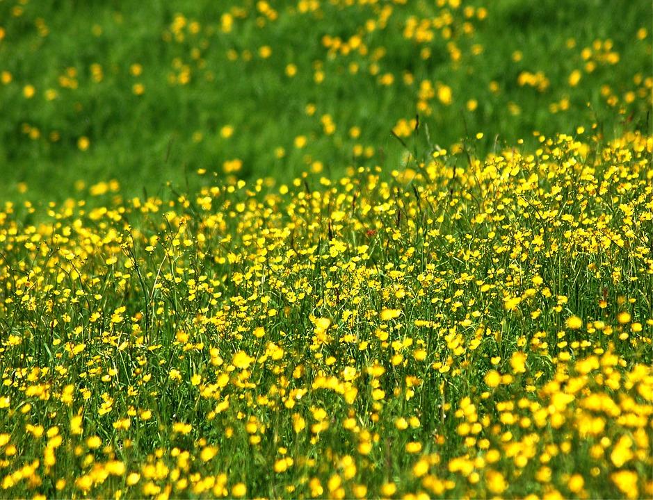 Prato flowers yellow free photo on pixabay prato flowers yellow spring flower bee nature mightylinksfo
