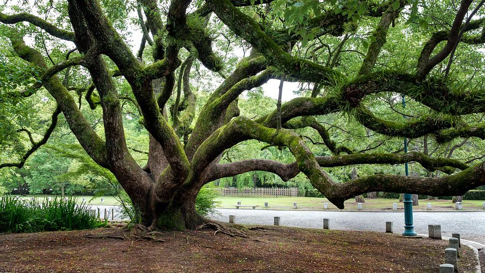 Tree, Gnarled, Branches, Old, Trunk, Branch, Plant