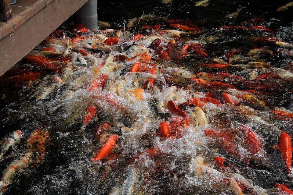 Koi fish carp free photo on pixabay for Surface fish ponds