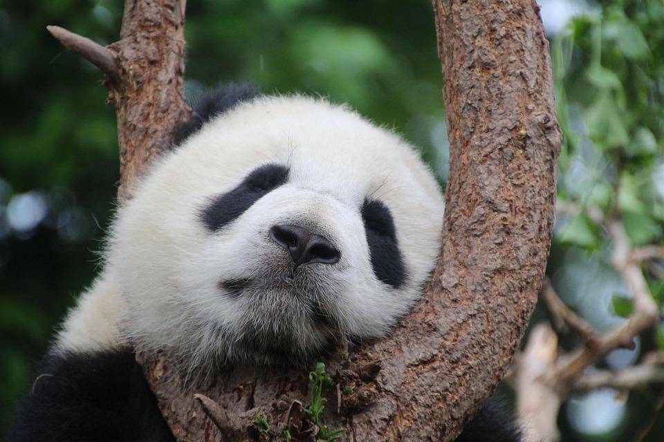 パンダ, パンダのクマ, 睡眠, 残り, リラックス, 中国, 哺乳動物, 竹, ブラック, ホワイト, クマ