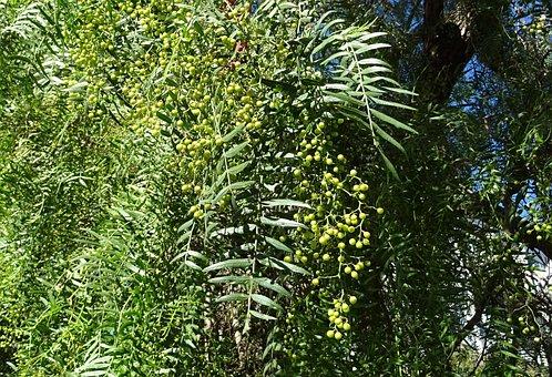 árbol de pimienta
