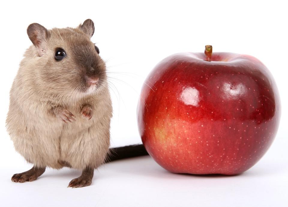 Animal, Apple, Creature, Critter, Food, Fruit, Gerbil
