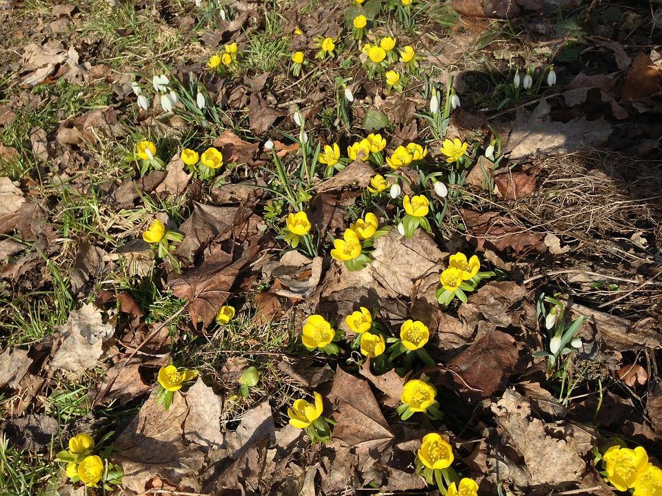 Pianta Fiori Gialli Primavera.Primavera Giallo Fiori Foto Gratis Su Pixabay