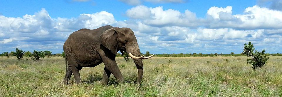 Elephant, Kruger National Park, South Africa, Safari
