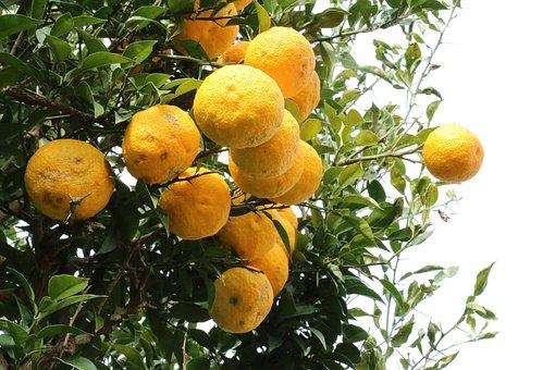 シトロン, 柚子茶, 黄色いゆず, クレメンタイン, 木, フルーツ
