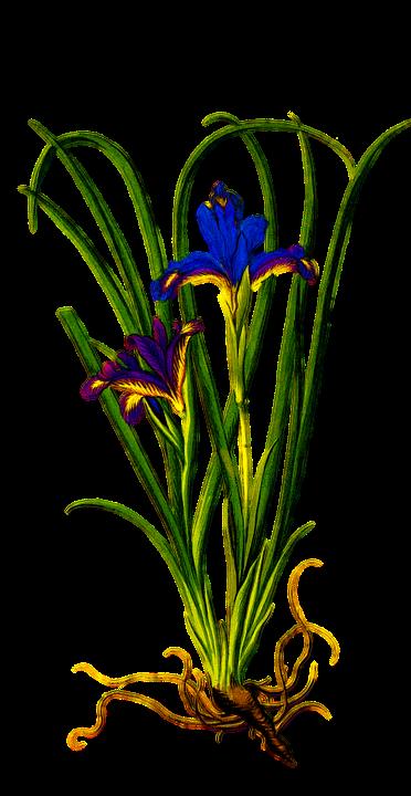 free illustration plant iris purple flower floral