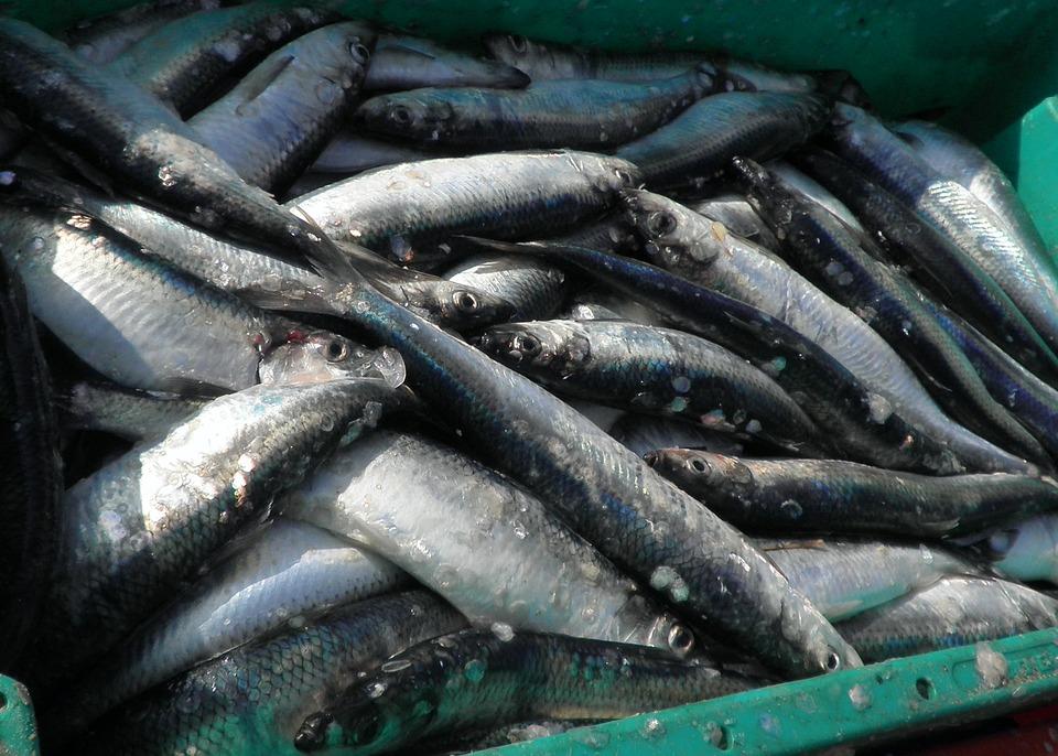 Heringe, Fische, Nahrung, Fangfrisch, Fischfang