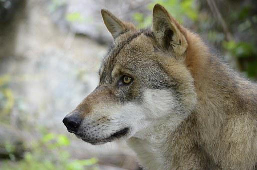 Wolf images pixabay download free pictures wolf wolf face wild animal dangerous snout fandeluxe Images