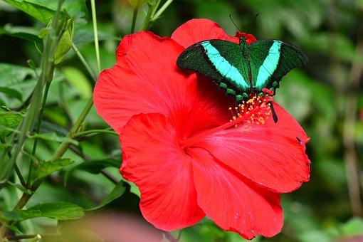 Smaragd Schwalbenschwanz, Schmetterling