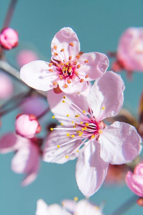 Primavera Fiori Di Ciliegio Fiore Foto Gratis Su Pixabay