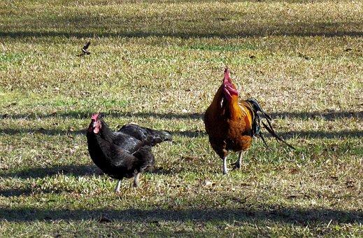Rooster, Hen, Chickens, Running, Farm