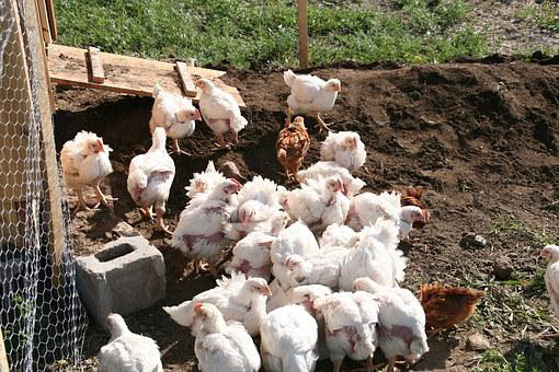 Chicken, Poultry, Free Range, Farm