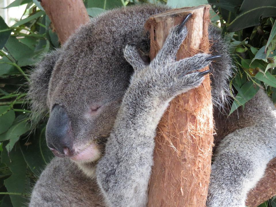 Gratis billede: Koala, Sovende, Australien, Træ - Gratis billede på Pixabay - 1249511