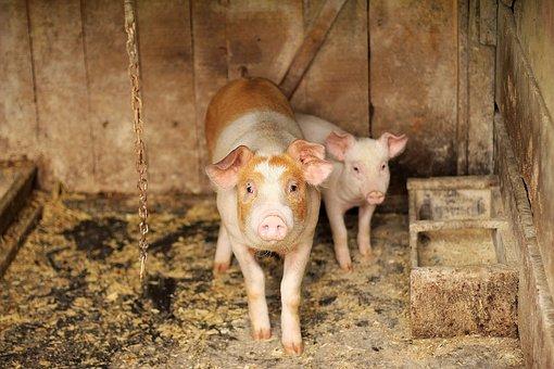 Pig, Wood, Animal, Small, Pork, Farm