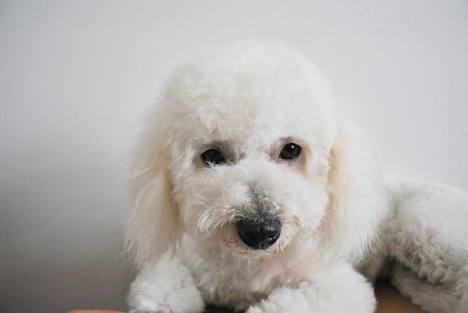 Bichon Dog Cute Free Photo On Pixabay