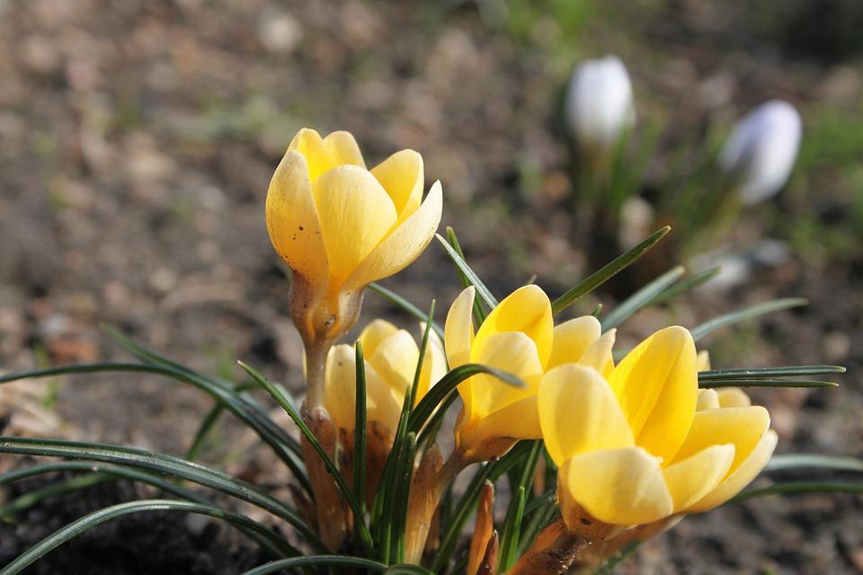 krokus-1249937_960_720 - Yellow Blooms - Photos Unlimited