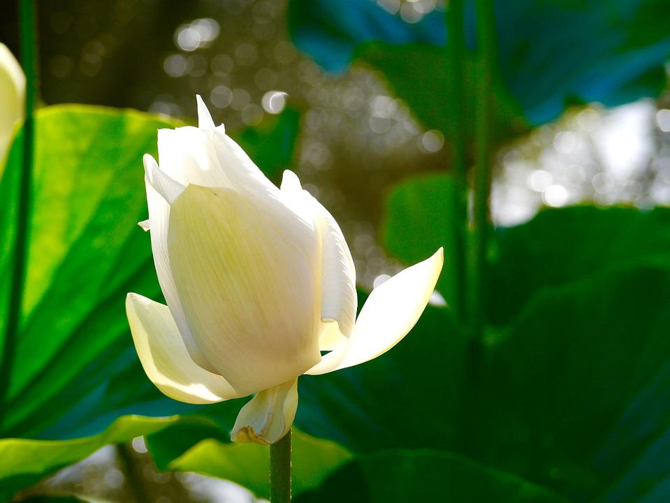 Lotus Blanc Vert Ile Photo Gratuite Sur Pixabay