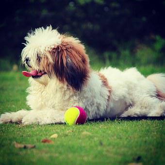 Noddy, Lhasa Apso, Dog, Pet, Animal