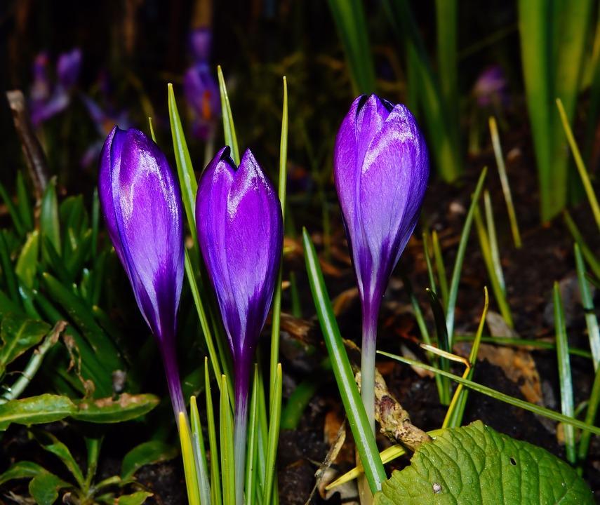 free photo crocus, bloom, spring, purple  free image on pixabay, Beautiful flower