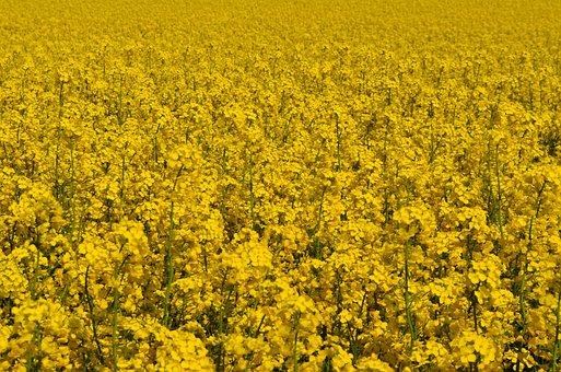 Yellow, Oilseed Rape, Field Of Rapeseeds