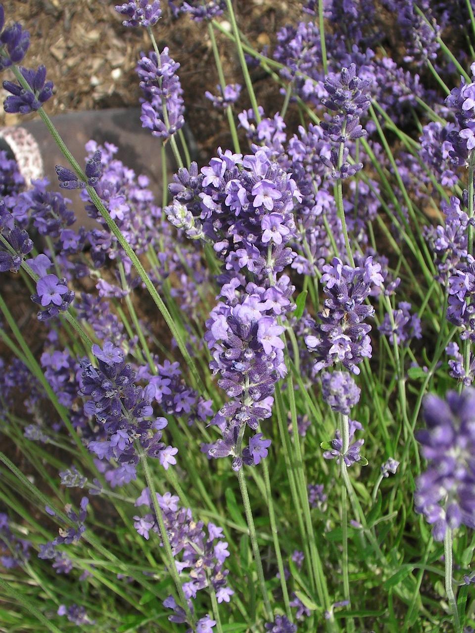 растения с сиреневыми цветами фото и названия содержит внутриигровых покупок