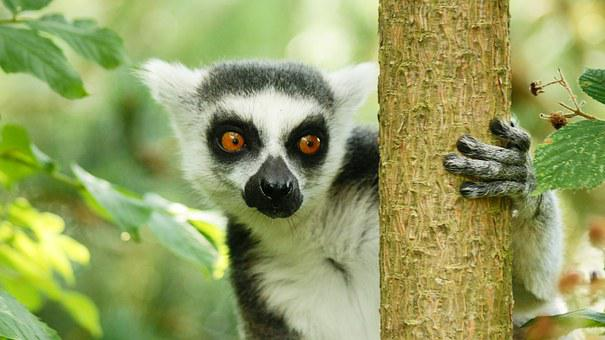 Lemur, Wildlife, Nature, Primate, Wild