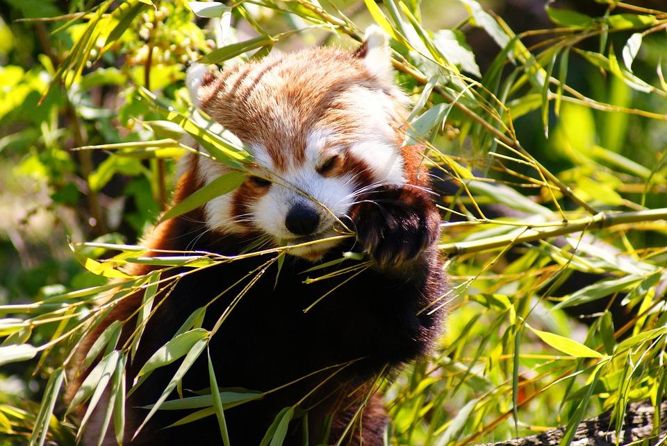 Red Panda Mammal Free Photo On Pixabay