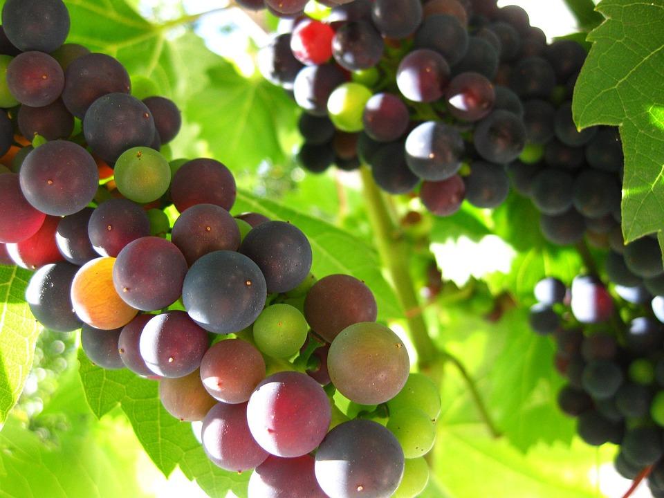 Grapes, Green, Blue, Violet, Vine, Landscape, Leaves