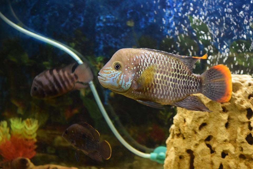 Free photo fish aquarium acar piranha free image on for Piranha fish tank