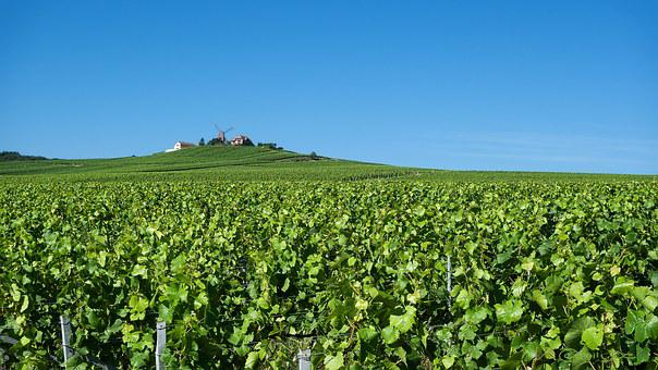 Reims, Verzenay, Champagne, Grapes