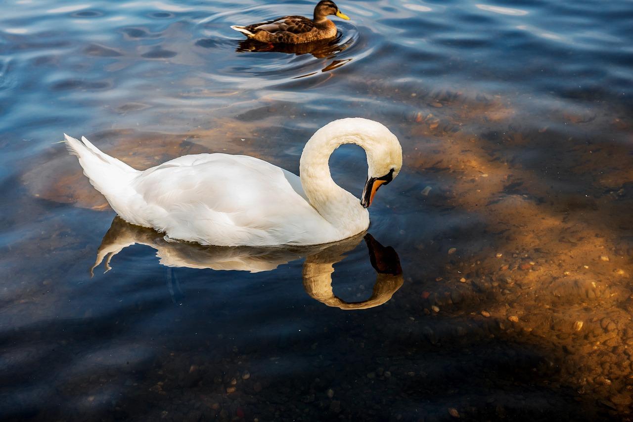 Картинка лебедь на воде